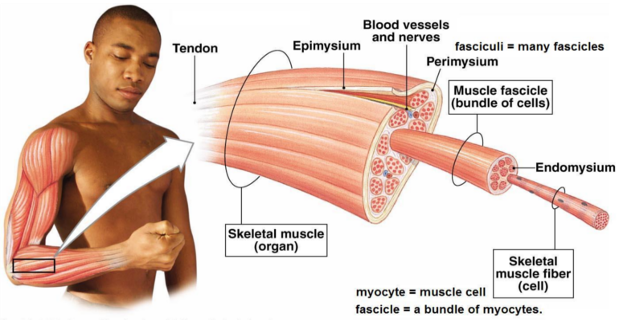 skeletal-muscle-physiology